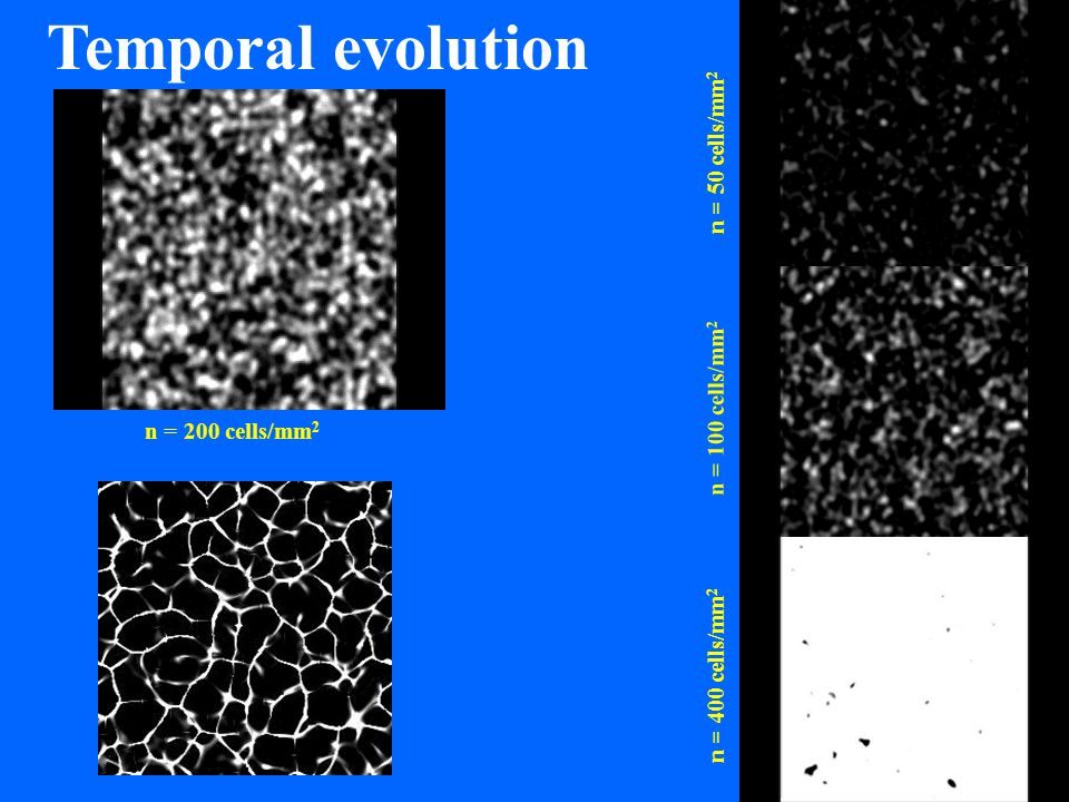 Temporal evolution n = 50 cells/mm2 n = 100 cells/mm2