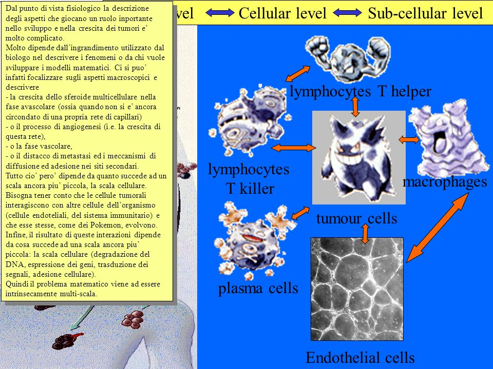 Tissue level Cellular level Sub-cellular level lymphocytes T helper