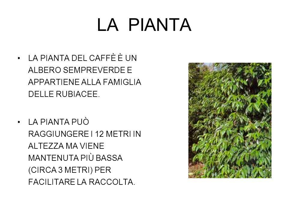LA PIANTA LA PIANTA DEL CAFFÈ È UN ALBERO SEMPREVERDE E APPARTIENE ALLA FAMIGLIA DELLE RUBIACEE.