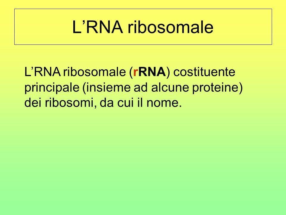 L'RNA ribosomale L'RNA ribosomale (rRNA) costituente principale (insieme ad alcune proteine) dei ribosomi, da cui il nome.