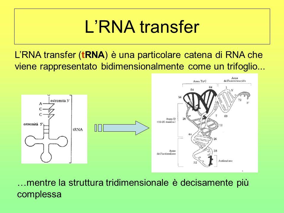 L'RNA transfer L'RNA transfer (tRNA) è una particolare catena di RNA che viene rappresentato bidimensionalmente come un trifoglio...