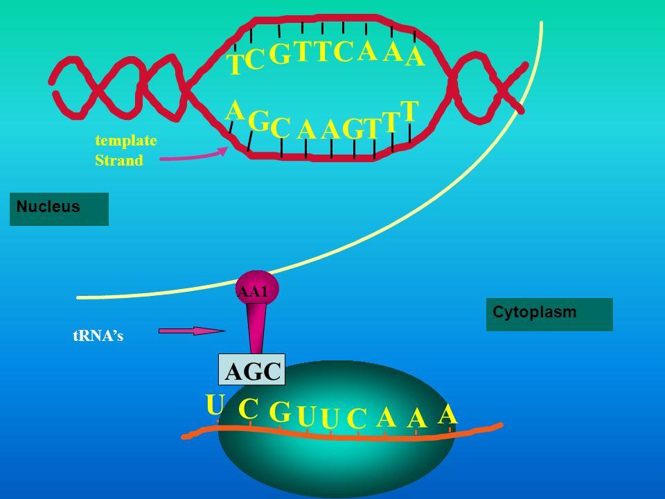A G C T template Strand Nucleus AA1 AGC Cytoplasm tRNA's U C G A
