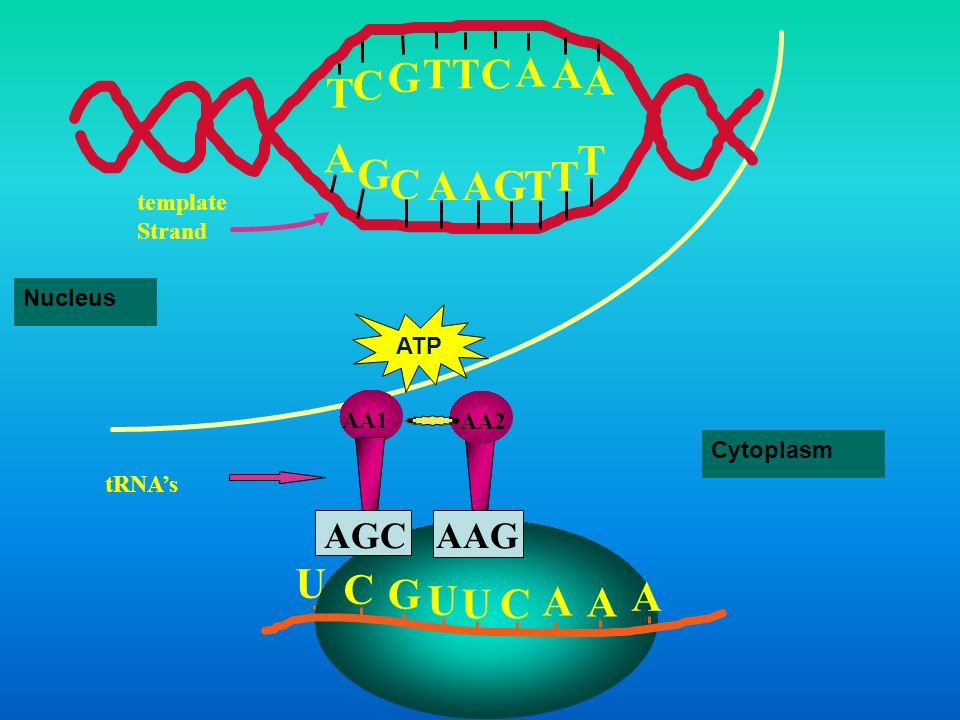 T G C A U C G A AAG AGC template Strand Nucleus ATP AA1 AA2 Cytoplasm