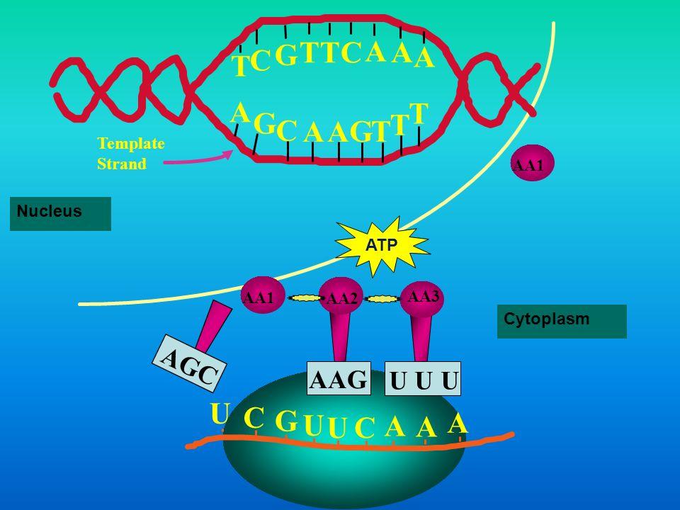 T G C A U C G A AGC AAG U U U Template Strand AA1 Nucleus ATP AA1 AA2
