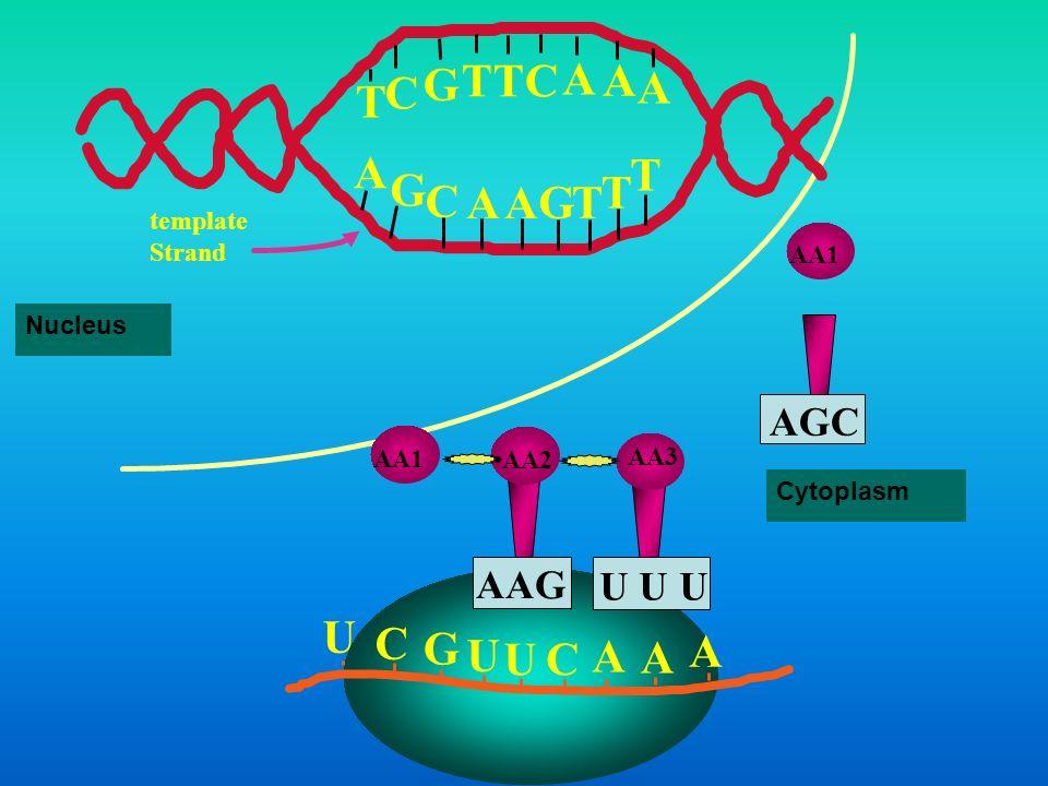 T G C A U C G A AGC AAG U U U template Strand AA1 Nucleus AA1 AA2 AA3