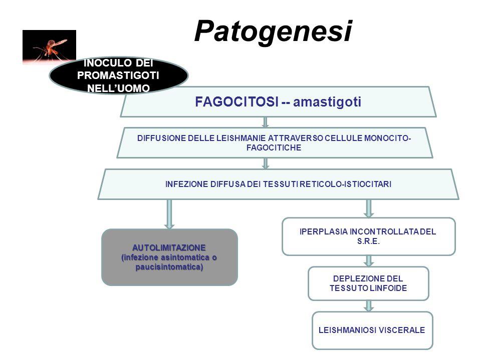 Patogenesi FAGOCITOSI -- amastigoti INOCULO DEI PROMASTIGOTI NELL'UOMO