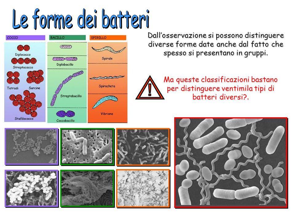 Le forme dei batteri Dall'osservazione si possono distinguere diverse forme date anche dal fatto che spesso si presentano in gruppi.