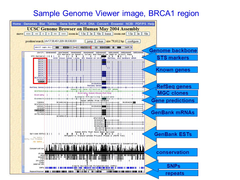 Sample Genome Viewer image, BRCA1 region