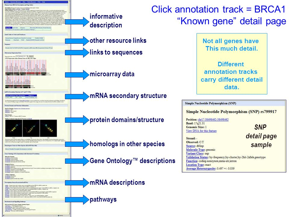 Click annotation track = BRCA1 Known gene detail page