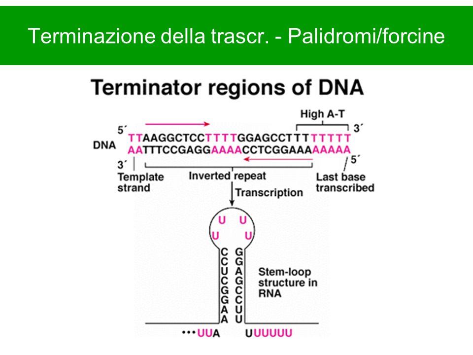 Terminazione della trascr. - Palidromi/forcine