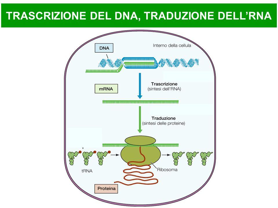 TRASCRIZIONE DEL DNA, TRADUZIONE DELL'RNA