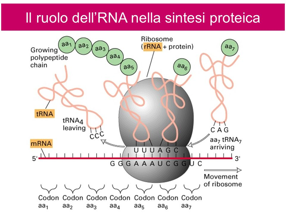 Il ruolo dell'RNA nella sintesi proteica