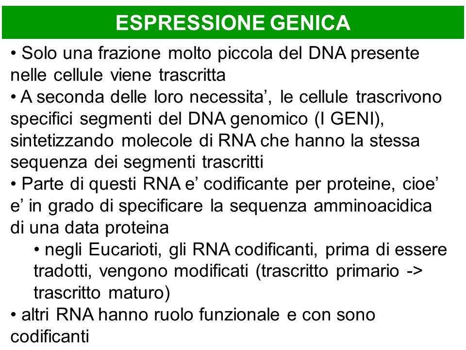 ESPRESSIONE GENICA Solo una frazione molto piccola del DNA presente nelle cellule viene trascritta.