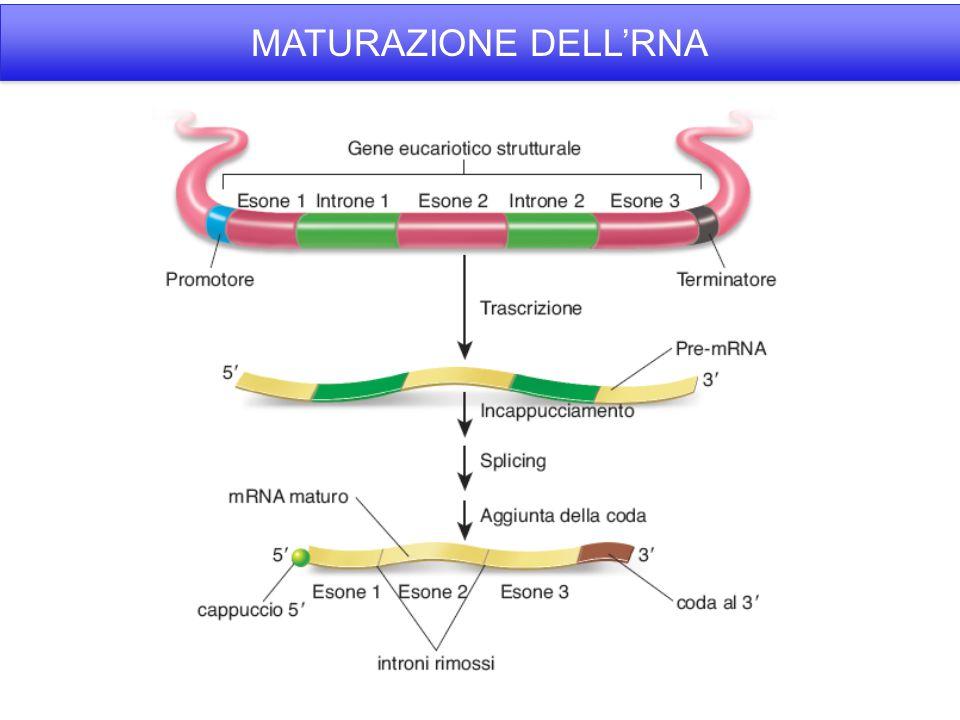 MATURAZIONE DELL'RNA