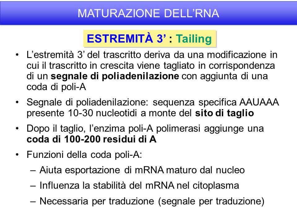 MATURAZIONE DELL'RNA ESTREMITÀ 3' : Tailing