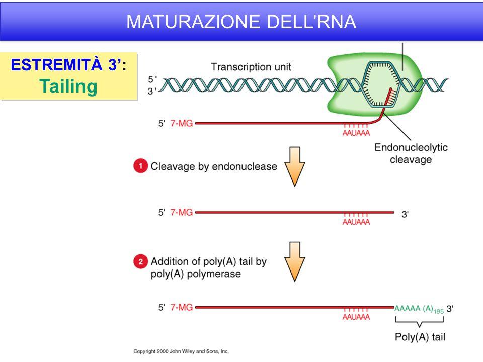 MATURAZIONE DELL'RNA ESTREMITÀ 3': Tailing
