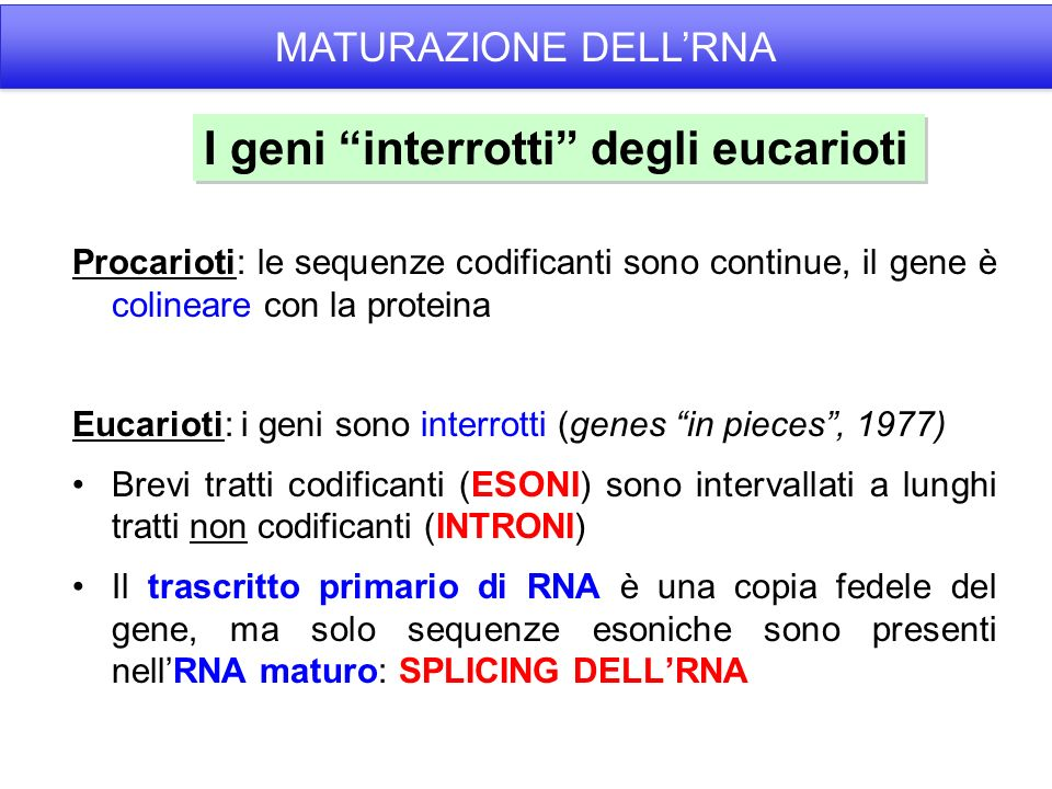I geni interrotti degli eucarioti