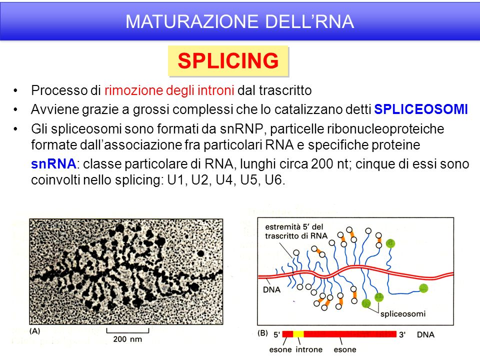 SPLICING MATURAZIONE DELL'RNA