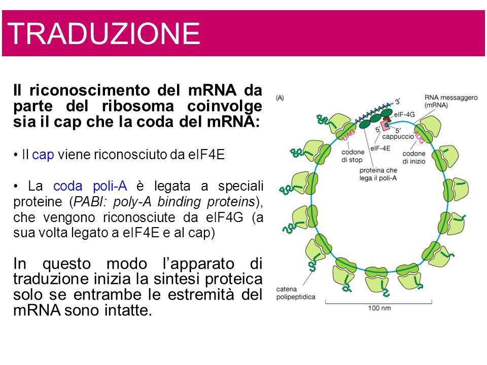 TRADUZIONE Il riconoscimento del mRNA da parte del ribosoma coinvolge sia il cap che la coda del mRNA: