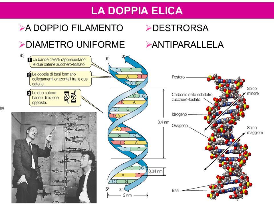 LA DOPPIA ELICA A DOPPIO FILAMENTO DIAMETRO UNIFORME DESTRORSA