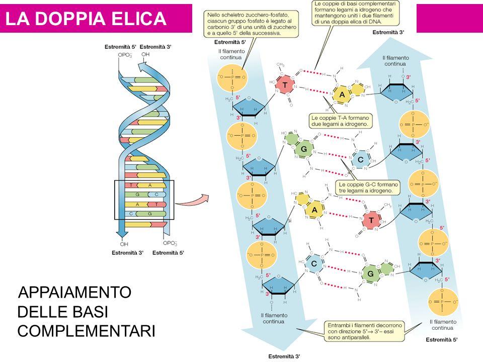 LA DOPPIA ELICA ELICA APPAIAMENTO DELLE BASI COMPLEMENTARI