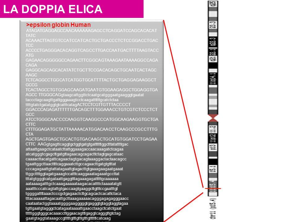 LA DOPPIA ELICA >epsilon globin Human