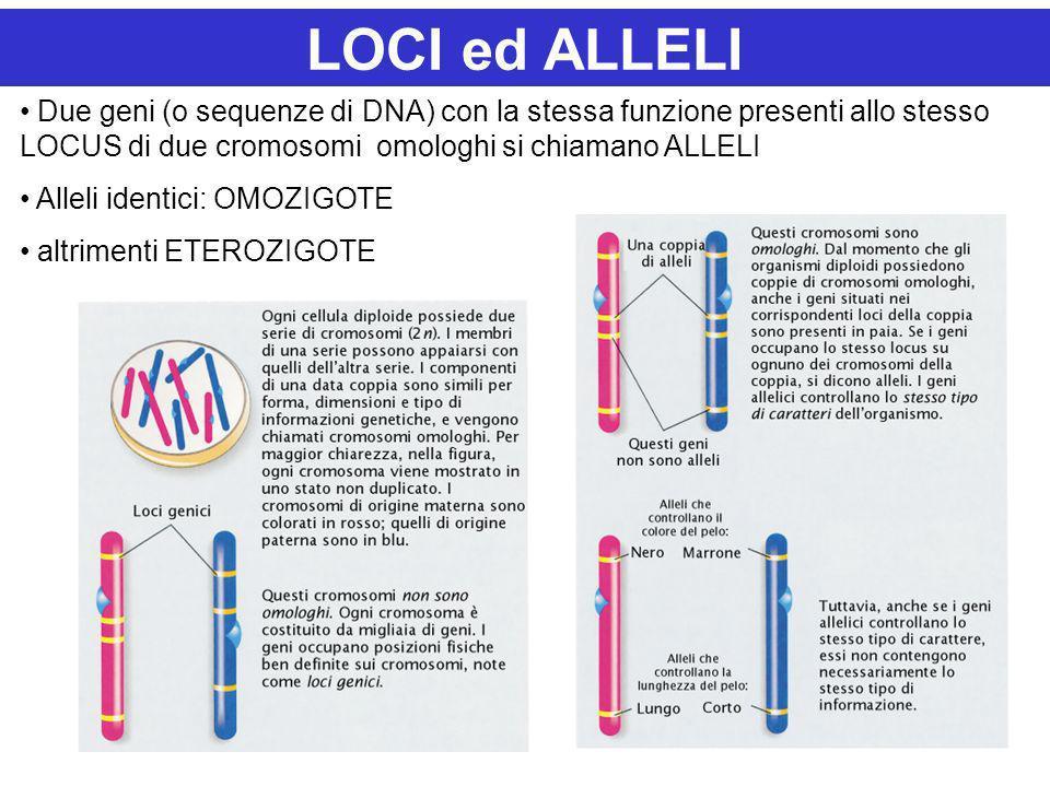 LOCI ed ALLELI Due geni (o sequenze di DNA) con la stessa funzione presenti allo stesso LOCUS di due cromosomi omologhi si chiamano ALLELI.