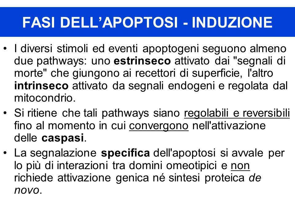 FASI DELL'APOPTOSI - INDUZIONE