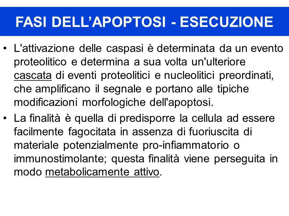 FASI DELL'APOPTOSI - ESECUZIONE