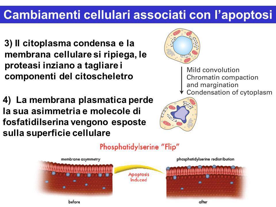 Cambiamenti cellulari associati con l'apoptosi