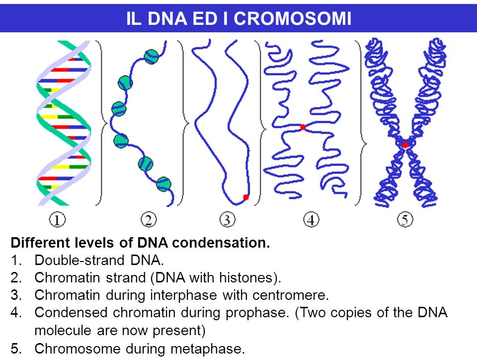IL DNA ED I CROMOSOMI Different levels of DNA condensation.