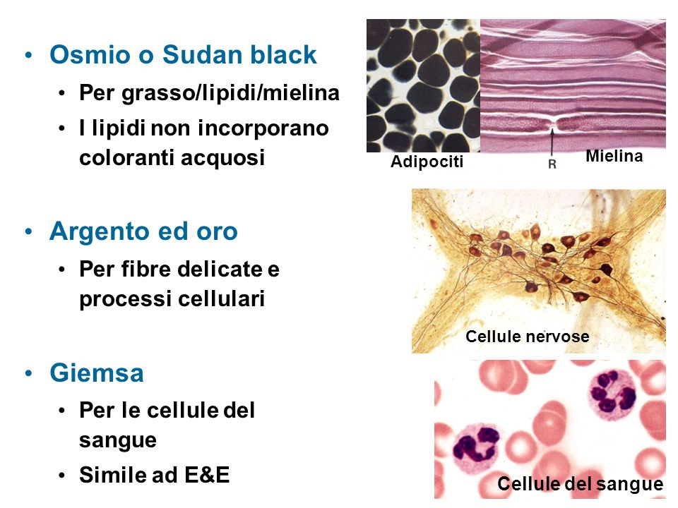 Osmio o Sudan black Argento ed oro Giemsa Per grasso/lipidi/mielina