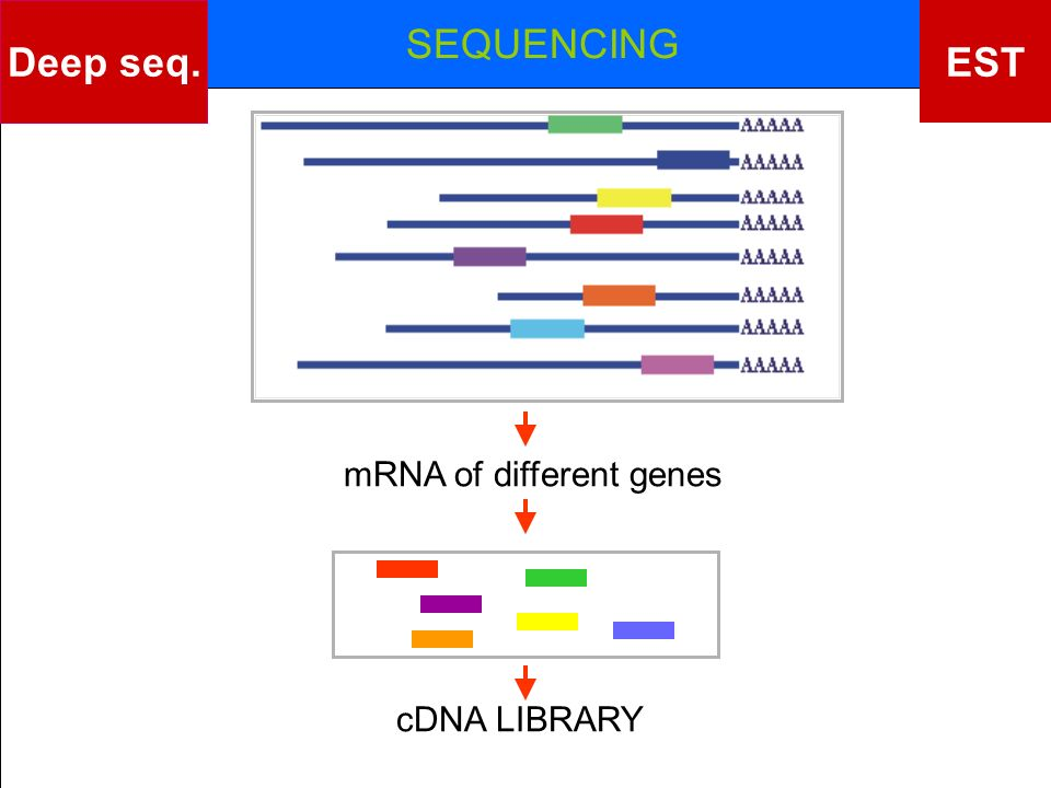 Deep seq. EST SEQUENCING mRNA of different genes cDNA LIBRARY