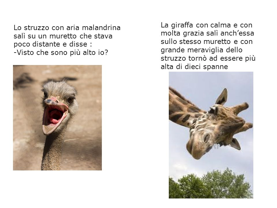 La giraffa con calma e con molta grazia salì anch'essa sullo stesso muretto e con grande meraviglia dello struzzo tornò ad essere più alta di dieci spanne