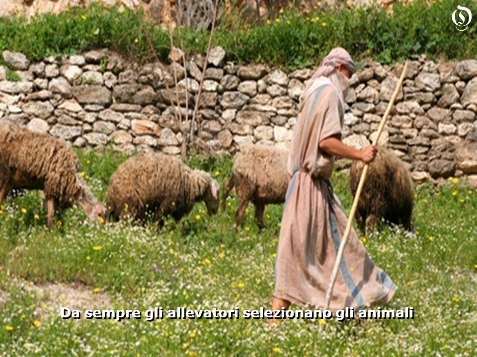Da sempre gli allevatori selezionano gli animali