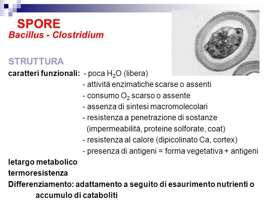 SPORE Bacillus - Clostridium STRUTTURA