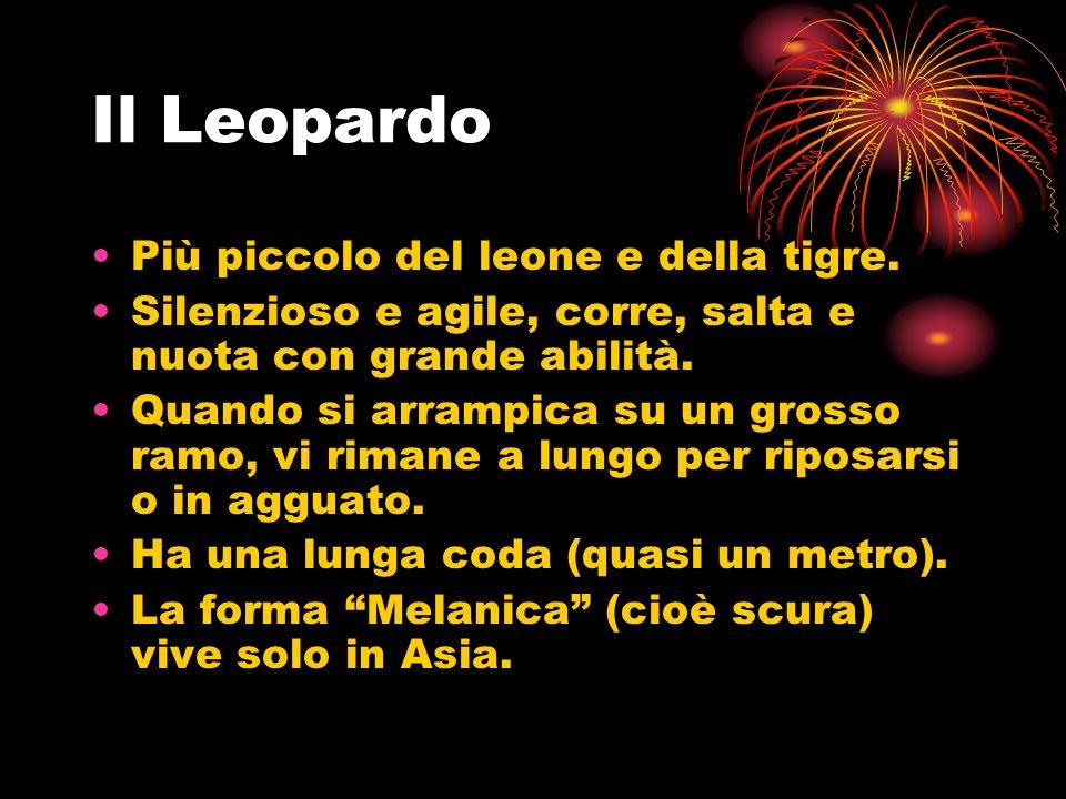 Il Leopardo Più piccolo del leone e della tigre.