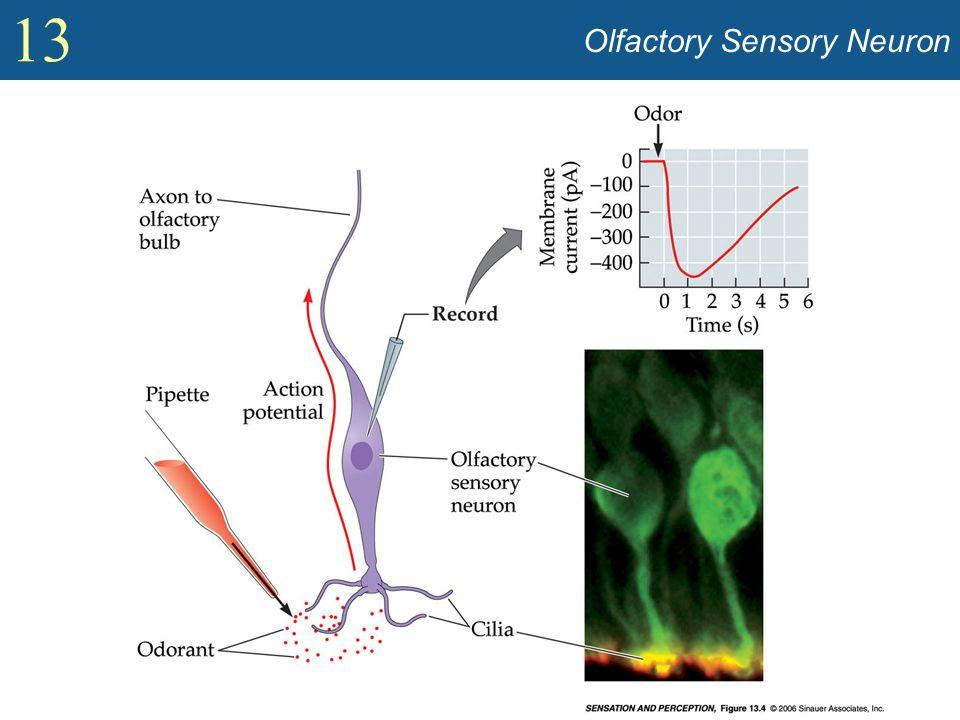 Olfactory Sensory Neuron