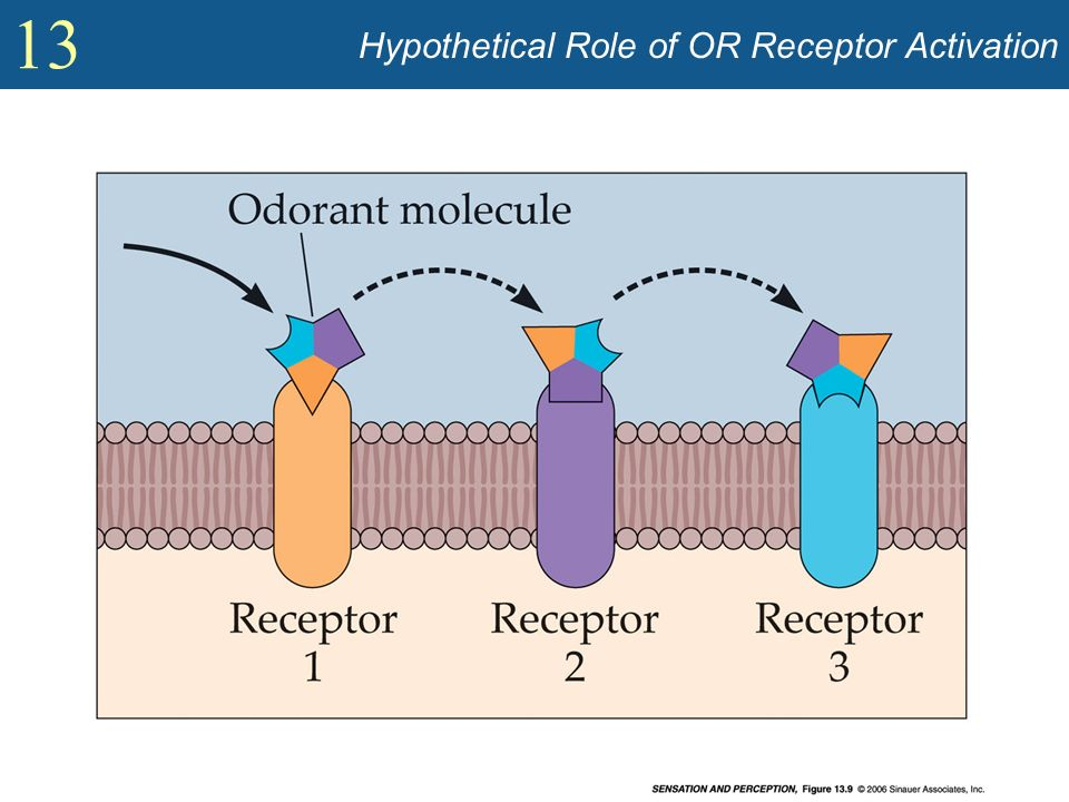 Hypothetical Role of OR Receptor Activation