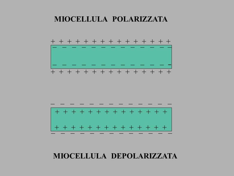 MIOCELLULA POLARIZZATA