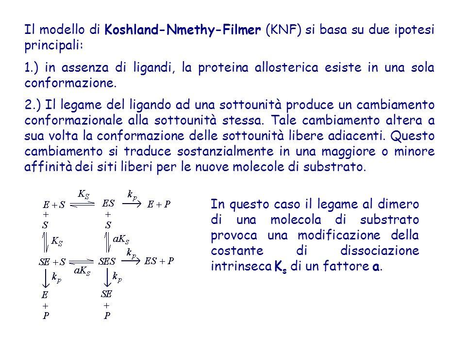 Il modello di Koshland-Nmethy-Filmer (KNF) si basa su due ipotesi principali: