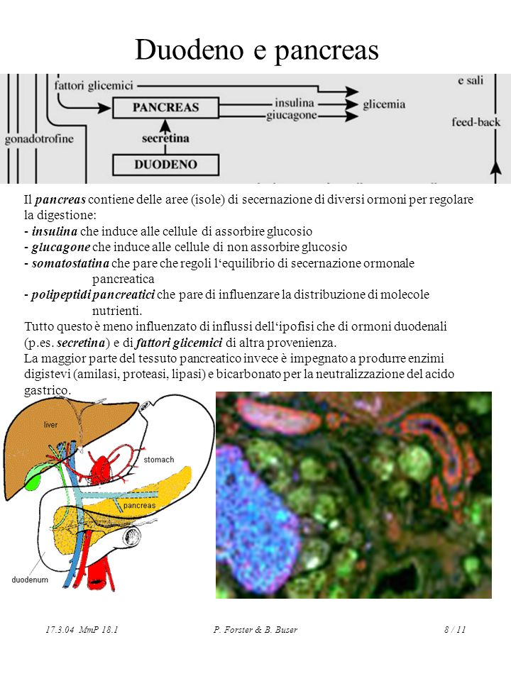 Duodeno e pancreasIl pancreas contiene delle aree (isole) di secernazione di diversi ormoni per regolare la digestione: