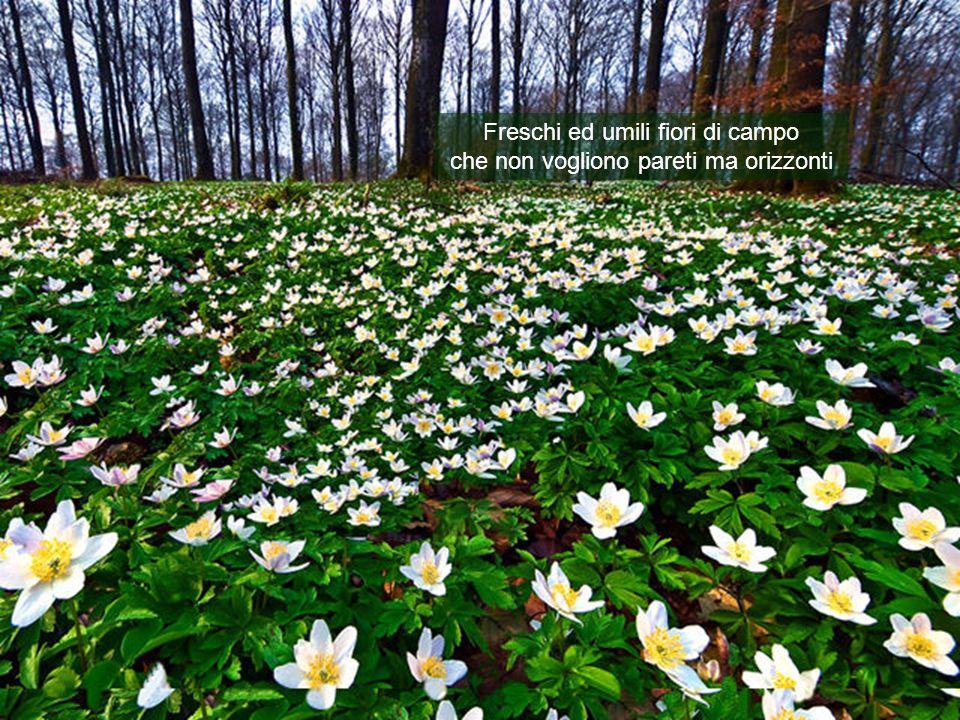 Freschi ed umili fiori di campo che non vogliono pareti ma orizzonti
