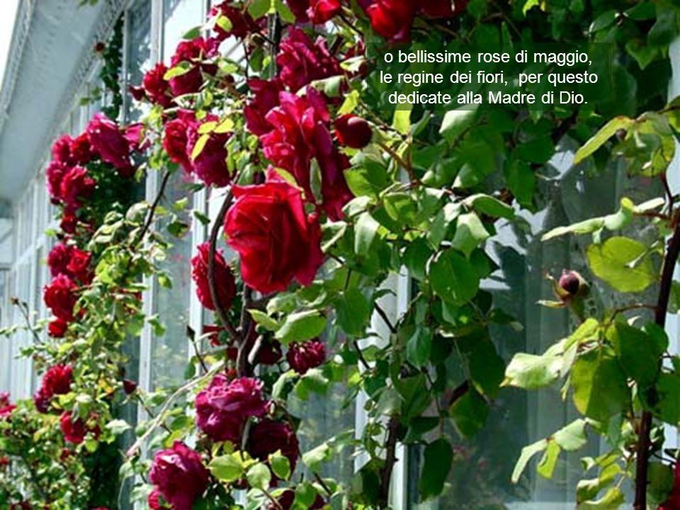 o bellissime rose di maggio,