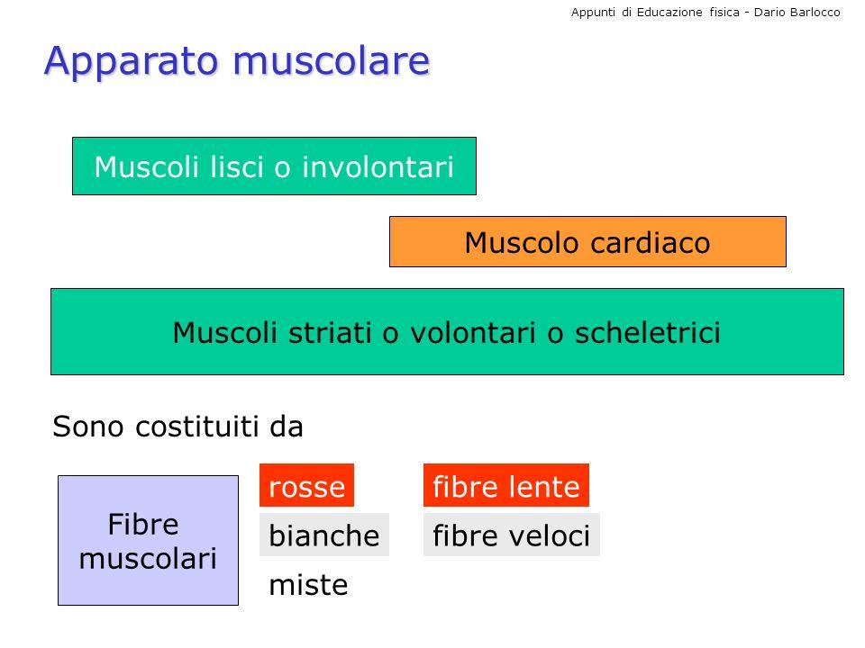 Apparato muscolare Muscoli lisci o involontari Muscolo cardiaco