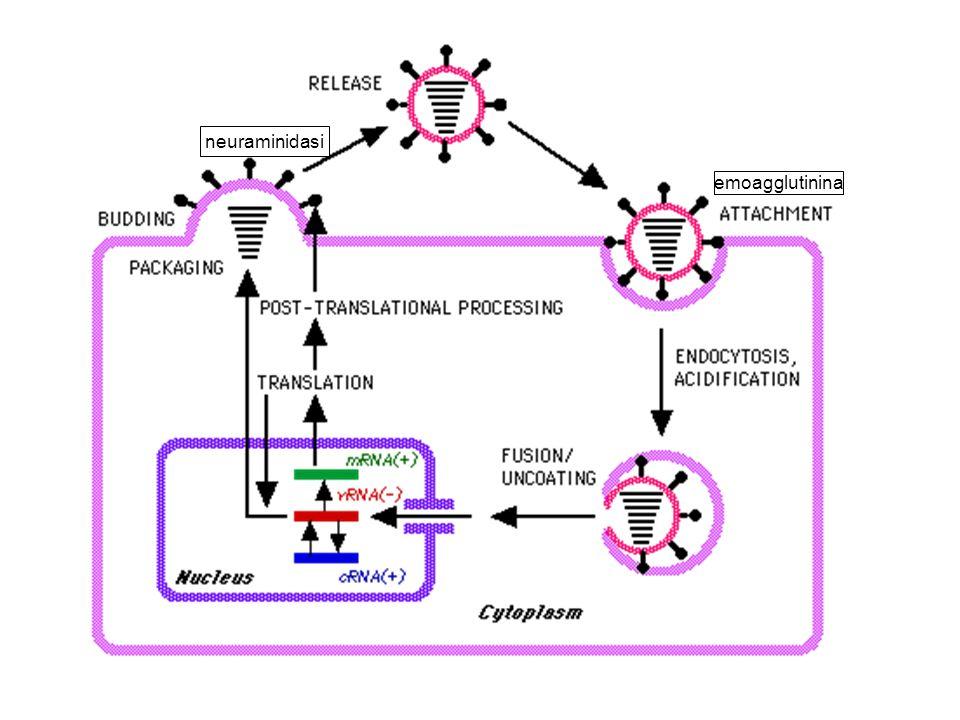 neuraminidasi emoagglutinina