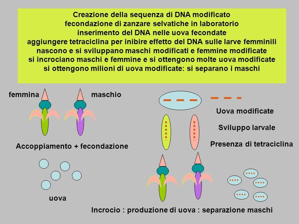 Creazione della sequenza di DNA modificato fecondazione di zanzare selvatiche in laboratorio inserimento del DNA nelle uova fecondate aggiungere tetraciclina per inibire effetto del DNA sulle larve femminili nascono e si sviluppano maschi modificati e femmine modificate si incrociano maschi e femmine e si ottengono molte uova modificate si ottengono milioni di uova modificate: si separano i maschi