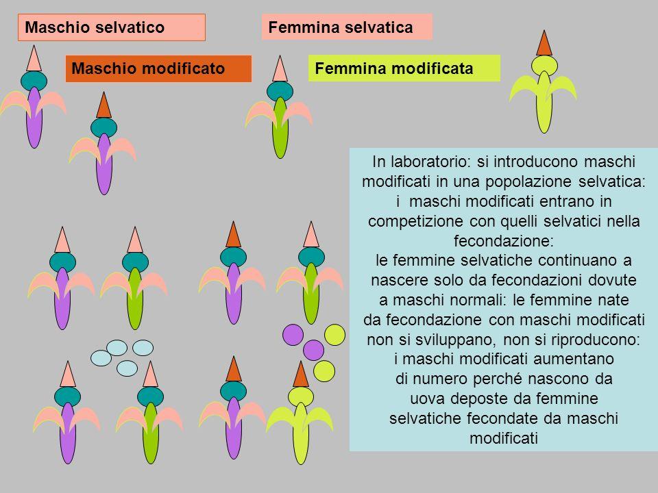 Maschio selvatico Maschio modificato. Femmina selvatica. Femmina modificata.