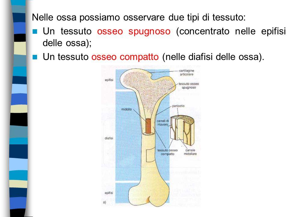 Nelle ossa possiamo osservare due tipi di tessuto:
