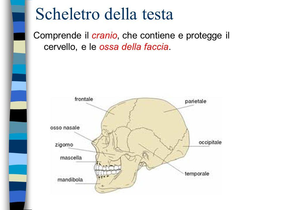 Scheletro della testa Comprende il cranio, che contiene e protegge il cervello, e le ossa della faccia.